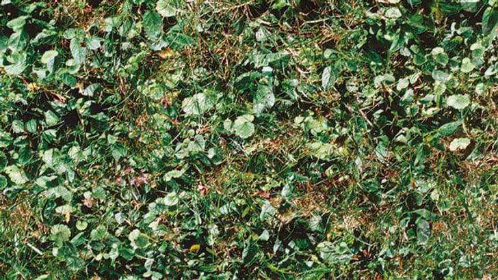 Mauvaises herbes dans le gazon