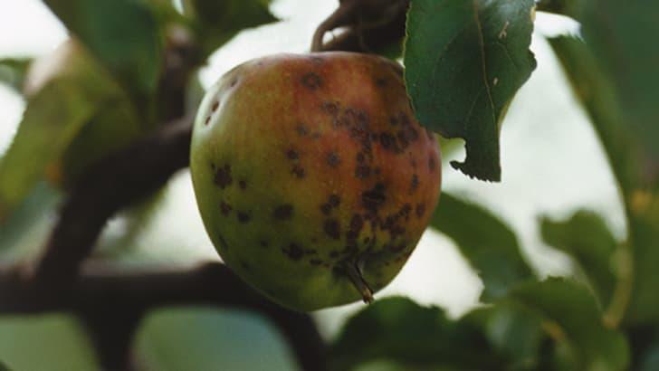 Tavelure des fruits à pépins